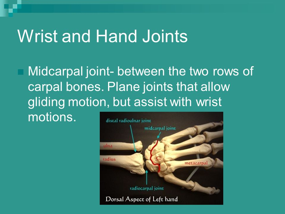 Wrist and Hand Joints Midcarpal joint- between the two rows of carpal bones.