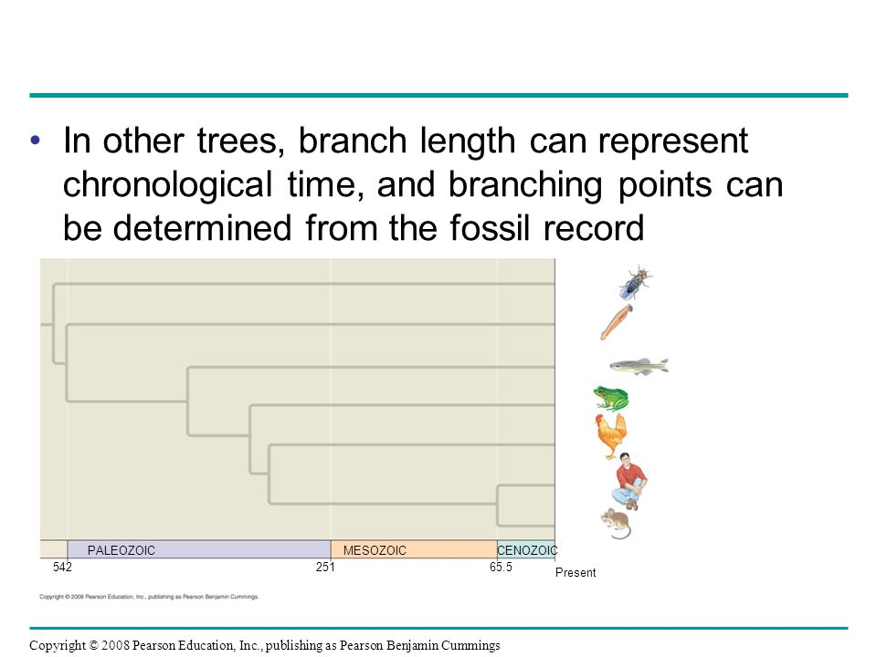In other trees, branch length can represent chronological time, and branching points can be determined from the fossil record