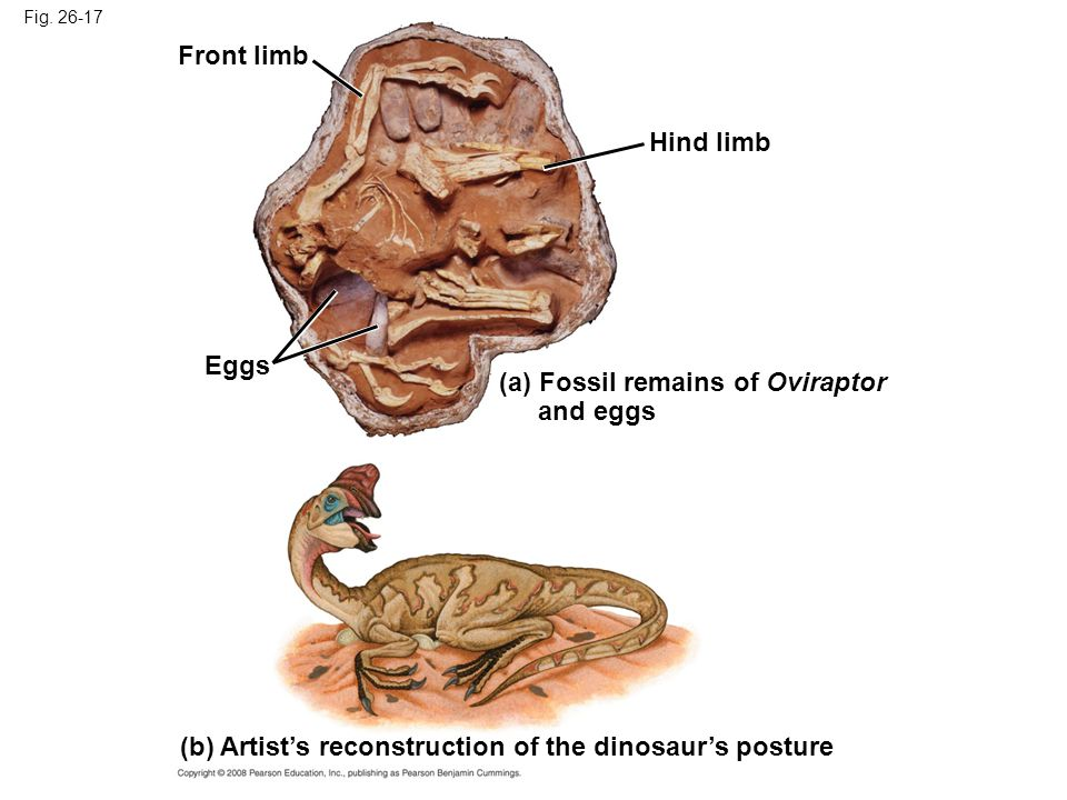 (a) Fossil remains of Oviraptor and eggs