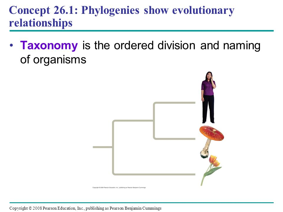 Concept 26.1: Phylogenies show evolutionary relationships