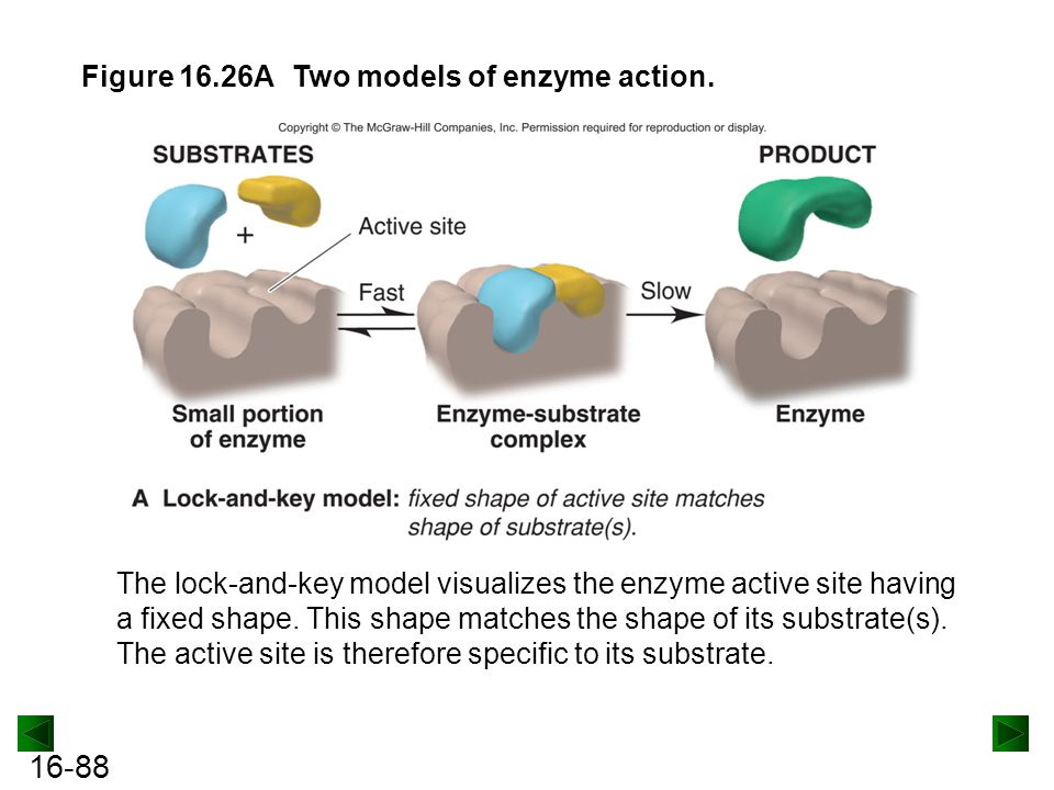 Figure 16.26A Two models of enzyme action.