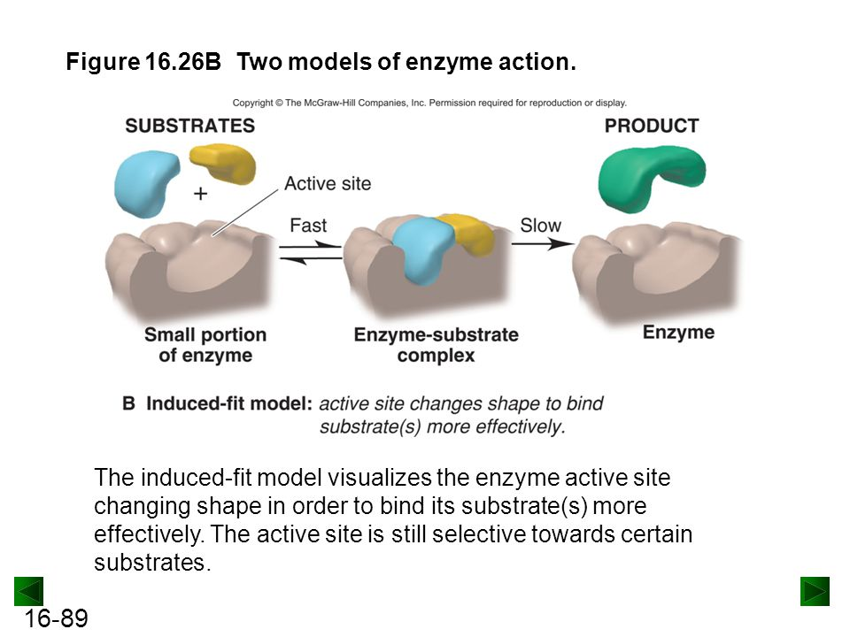 Figure 16.26B Two models of enzyme action.