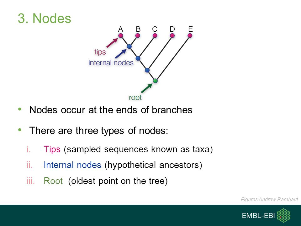 3. Nodes Nodes occur at the ends of branches