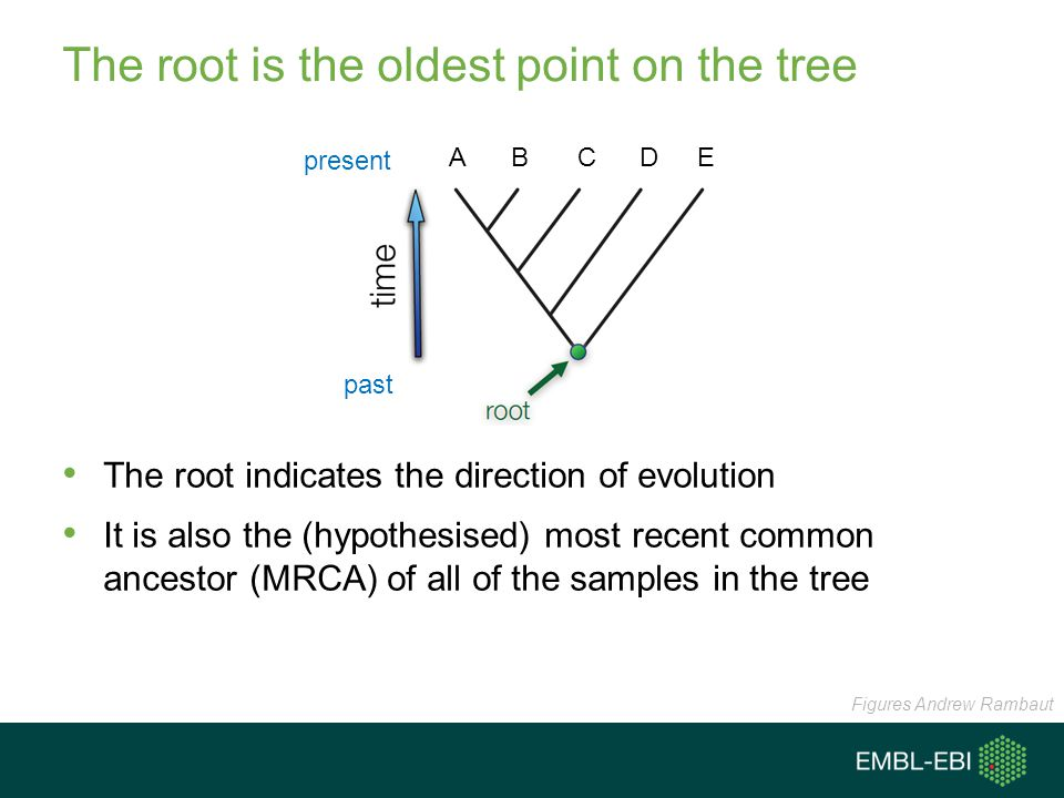 The root is the oldest point on the tree