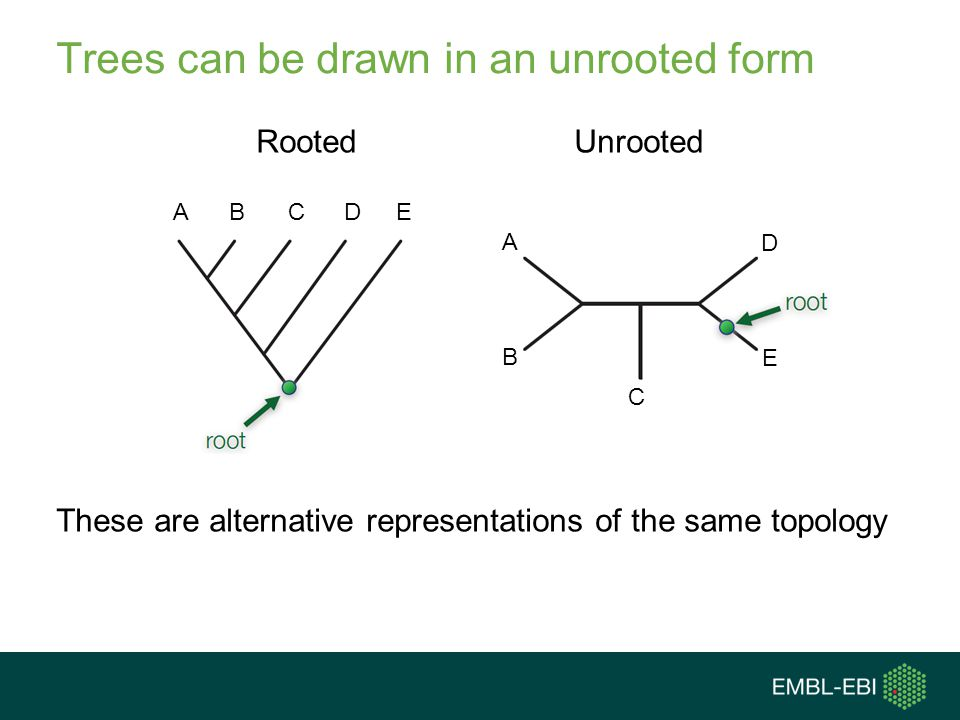 Trees can be drawn in an unrooted form