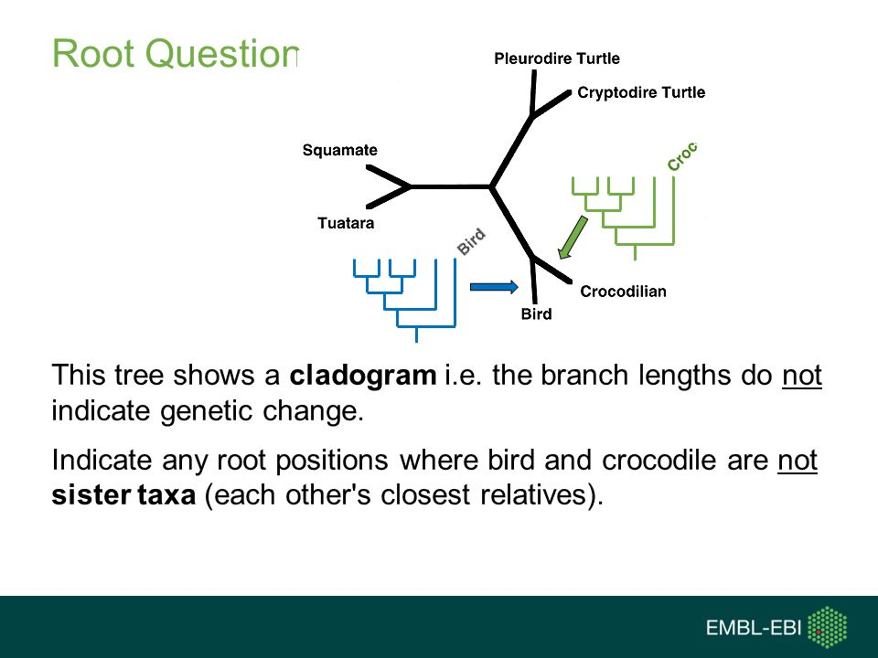 Root Question This tree shows a cladogram i.e. the branch lengths do not indicate genetic change.