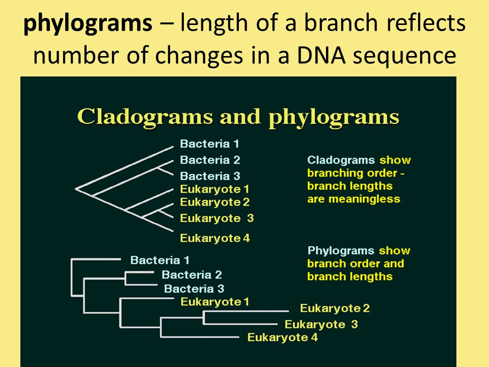 phylograms – length of a branch reflects number of changes in a DNA sequence