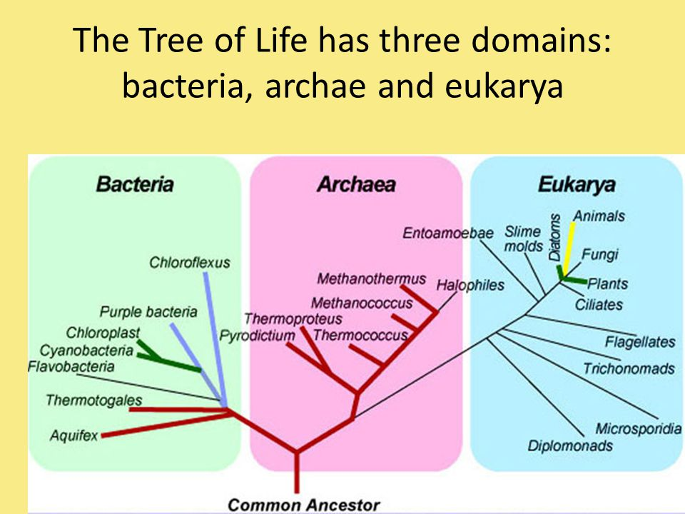 microbiology how are archae different from Why are bacteria and archaea in different domains the main difference between the bacteria and the eucaryota domains are that bacteria and archaea.