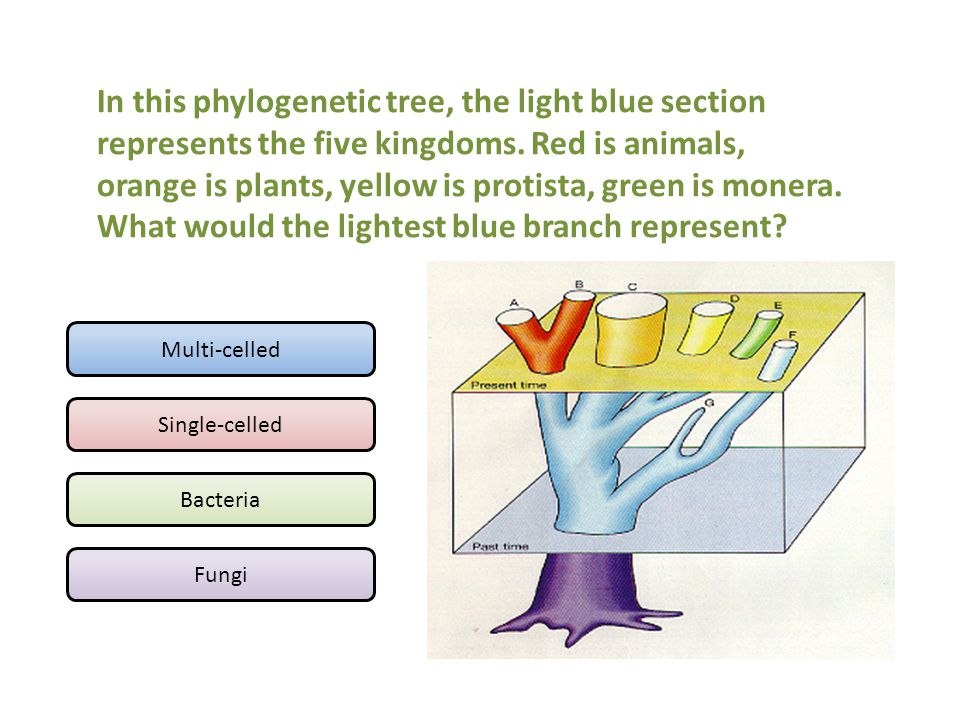 In this phylogenetic tree, the light blue section represents the five kingdoms. Red is animals, orange is plants, yellow is protista, green is monera. What would the lightest blue branch represent
