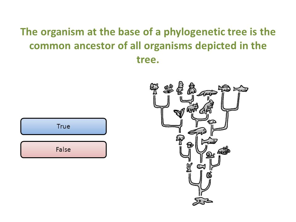 The organism at the base of a phylogenetic tree is the common ancestor of all organisms depicted in the tree.
