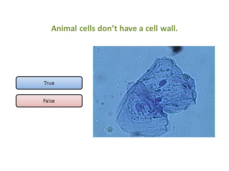 Animal cells don't have a cell wall.