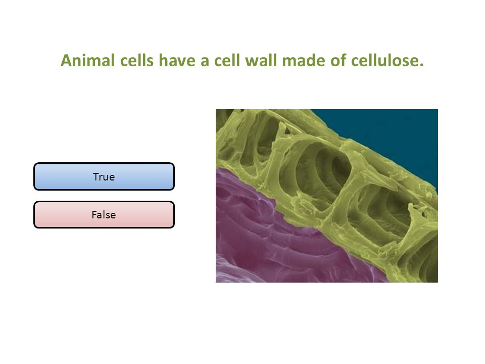 Animal cells have a cell wall made of cellulose.