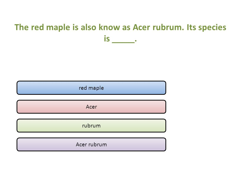 The red maple is also know as Acer rubrum. Its species is _____.