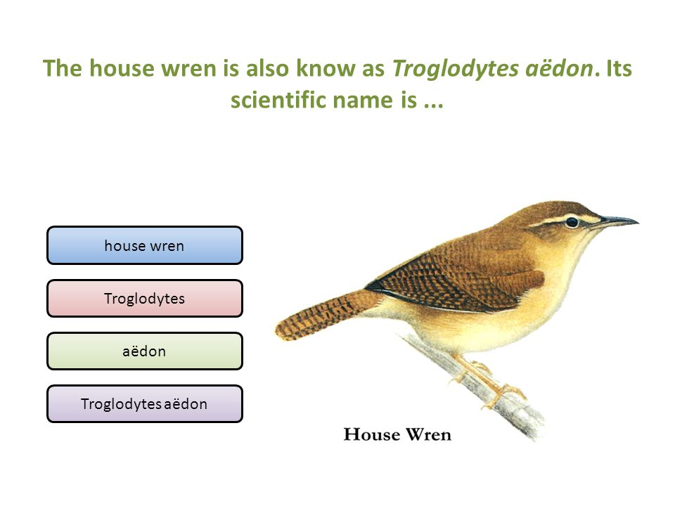 The house wren is also know as Troglodytes aëdon
