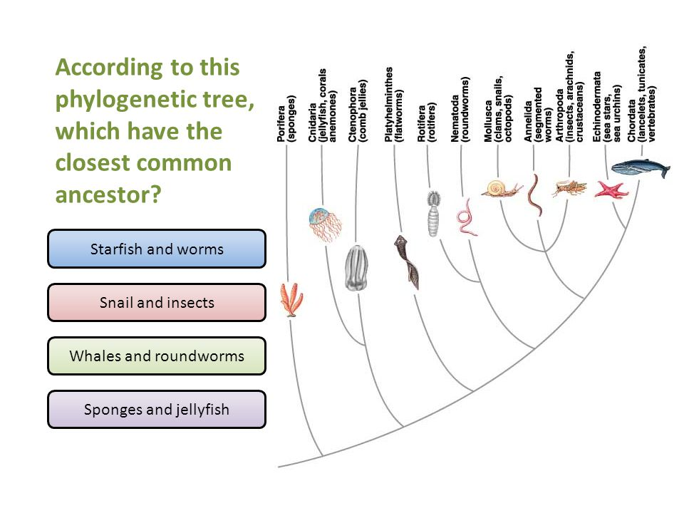 According to this phylogenetic tree, which have the closest common ancestor