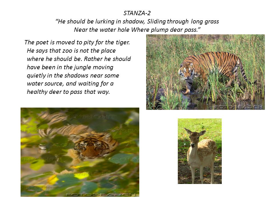 STANZA-2 He should be lurking in shadow, Sliding through long grass Near the water hole Where plump dear pass.