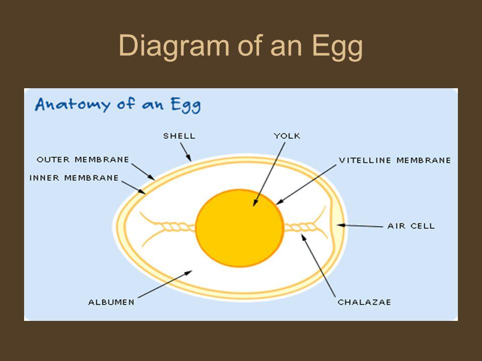 Diagram of an Egg