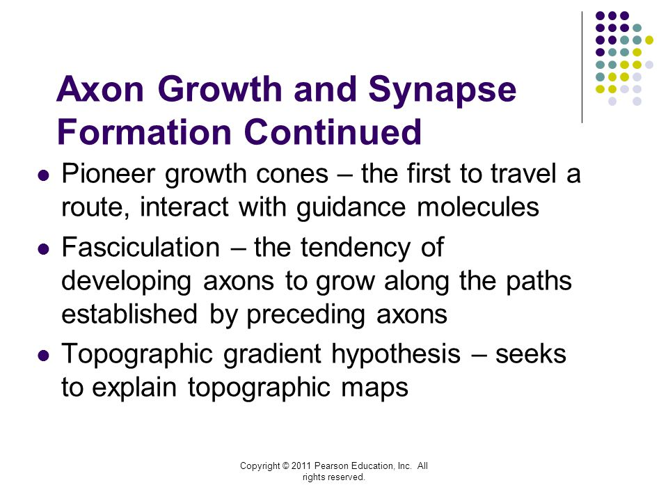 Axon Growth and Synapse Formation Continued