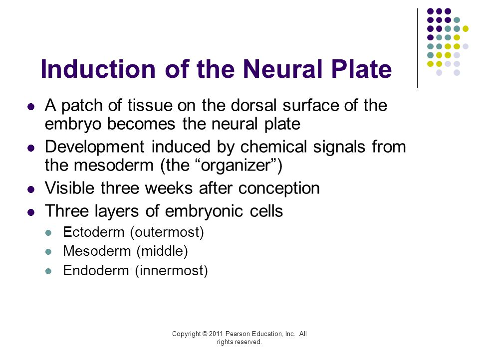 Induction of the Neural Plate