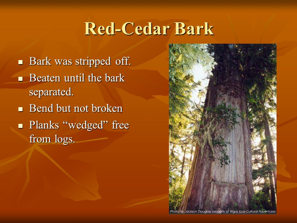 Red-Cedar Bark Bark was stripped off. Beaten until the bark separated.