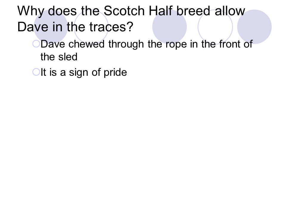 Why does the Scotch Half breed allow Dave in the traces