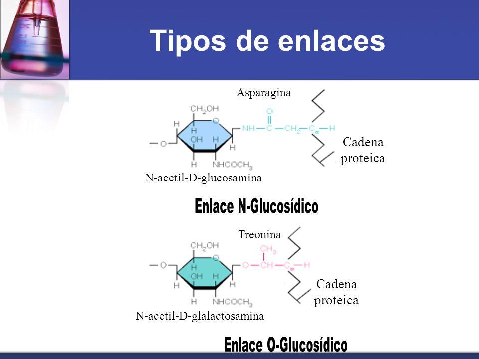 Tipos de enlaces Cadena proteica Cadena proteica Asparagina