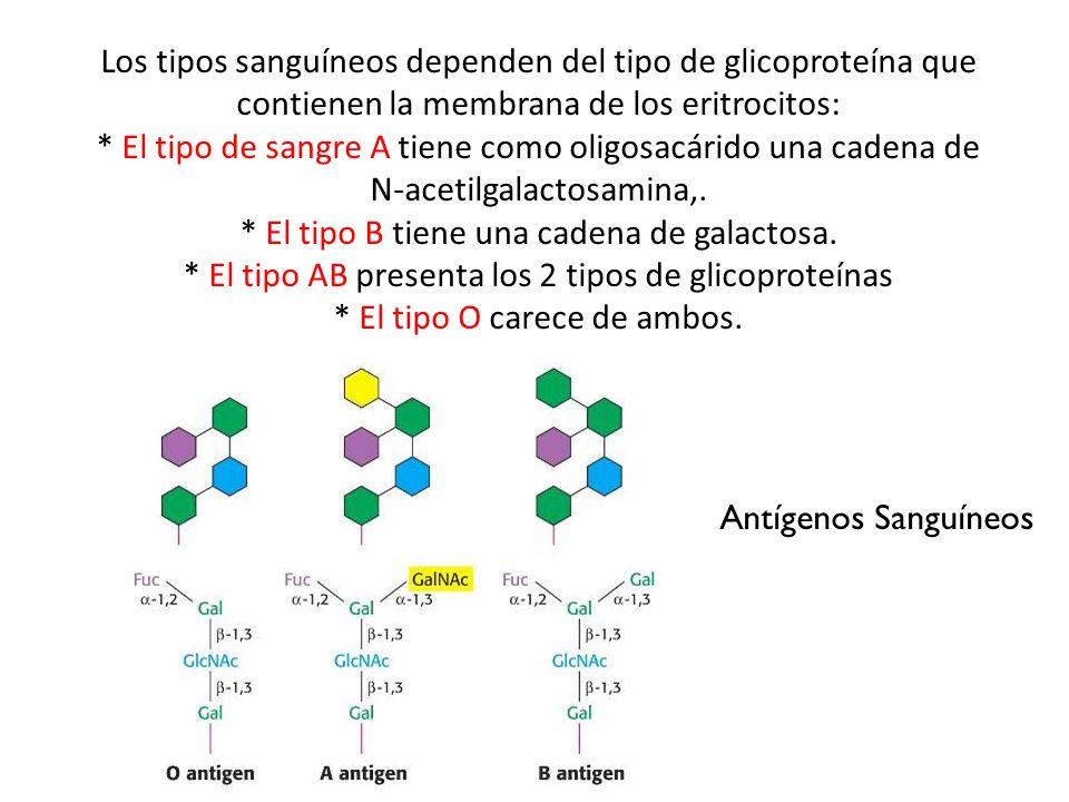 * El tipo B tiene una cadena de galactosa.
