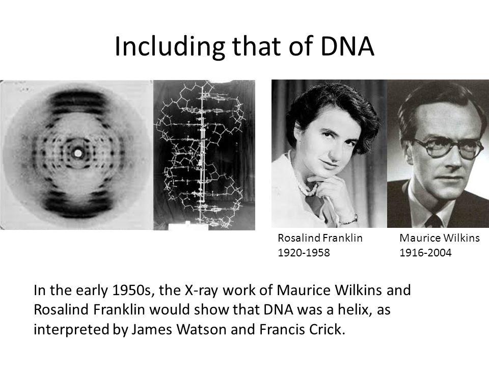 Including that of DNA Rosalind Franklin. 1920-1958. Maurice Wilkins. 1916-2004.
