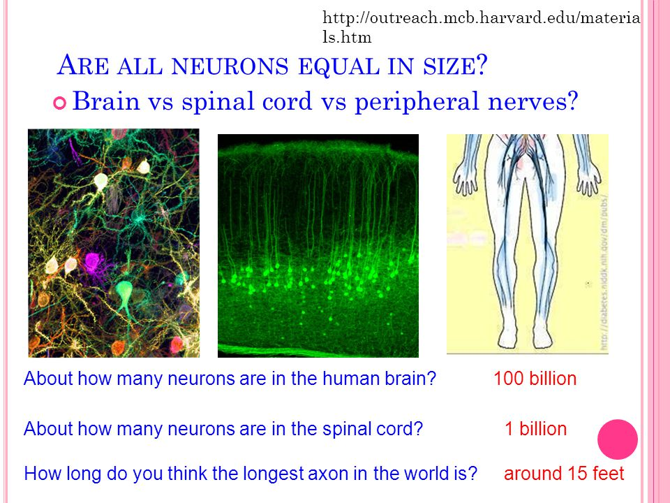 Are all neurons equal in size