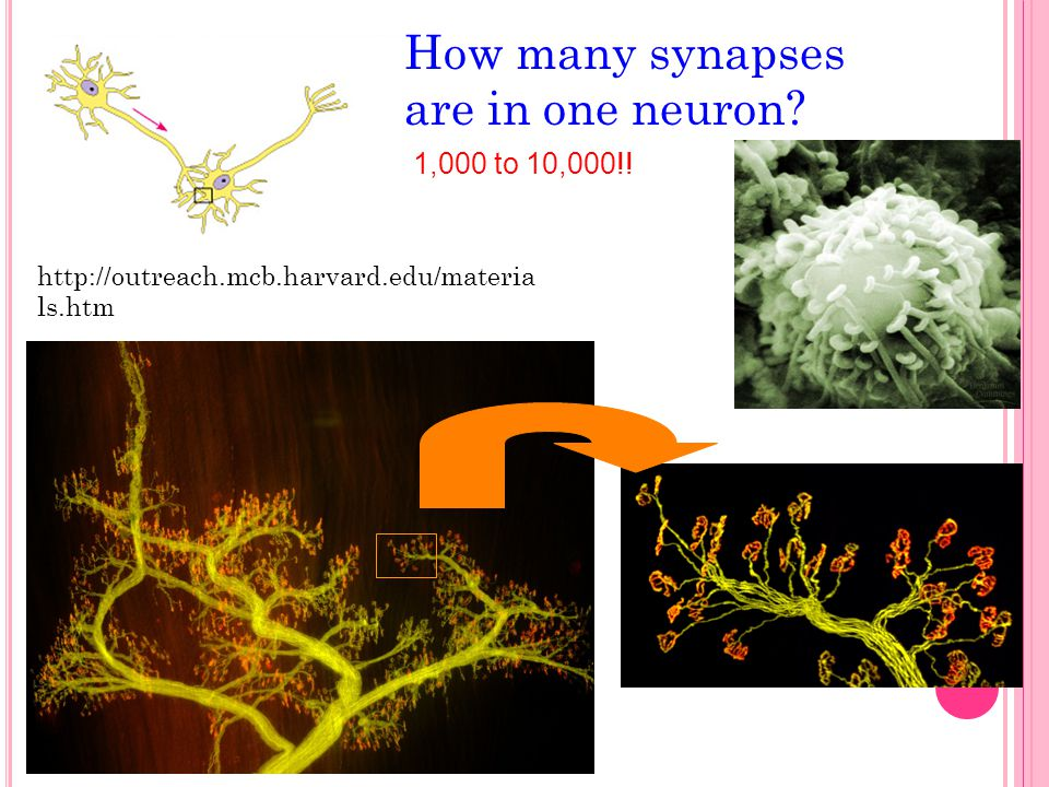 How many synapses are in one neuron