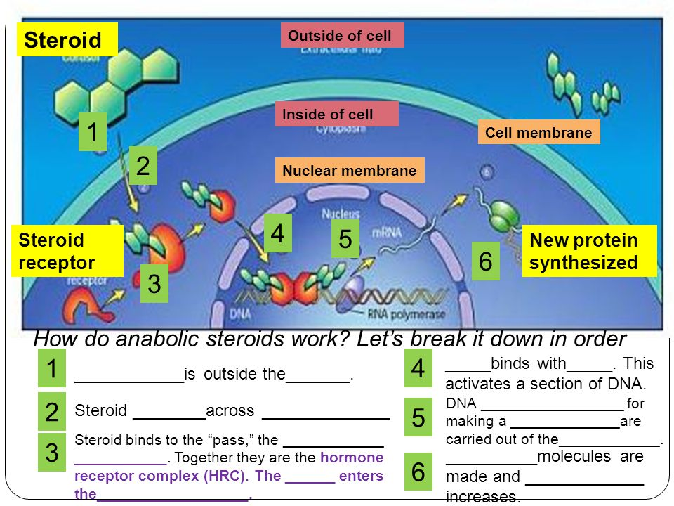 Steroid Outside of cell. Inside of cell. 1. Cell membrane. 2. Nuclear membrane. 4. 5. Steroid receptor.
