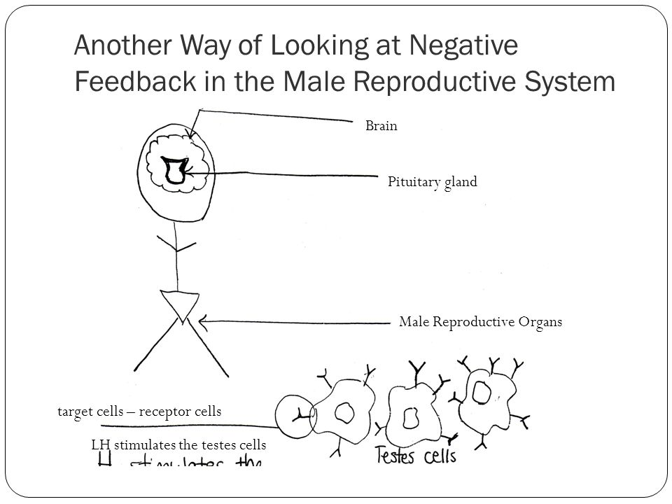 Another Way of Looking at Negative Feedback in the Male Reproductive System