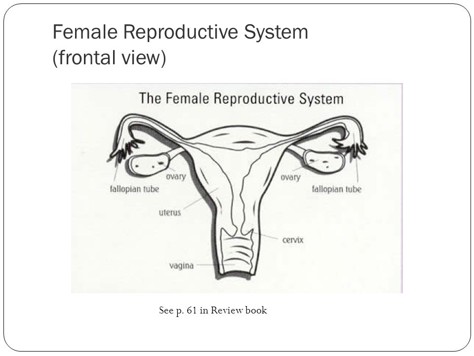 Female Reproductive System (frontal view)