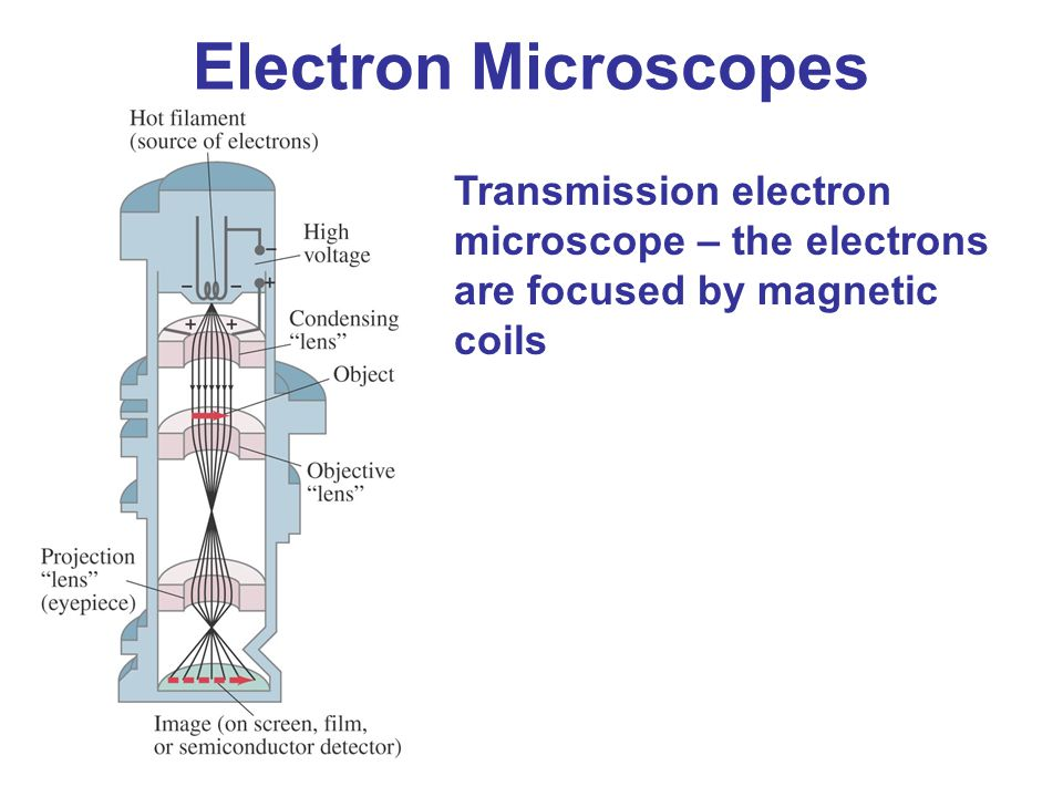 Electron Microscopes Transmission electron microscope – the electrons are focused by magnetic coils.