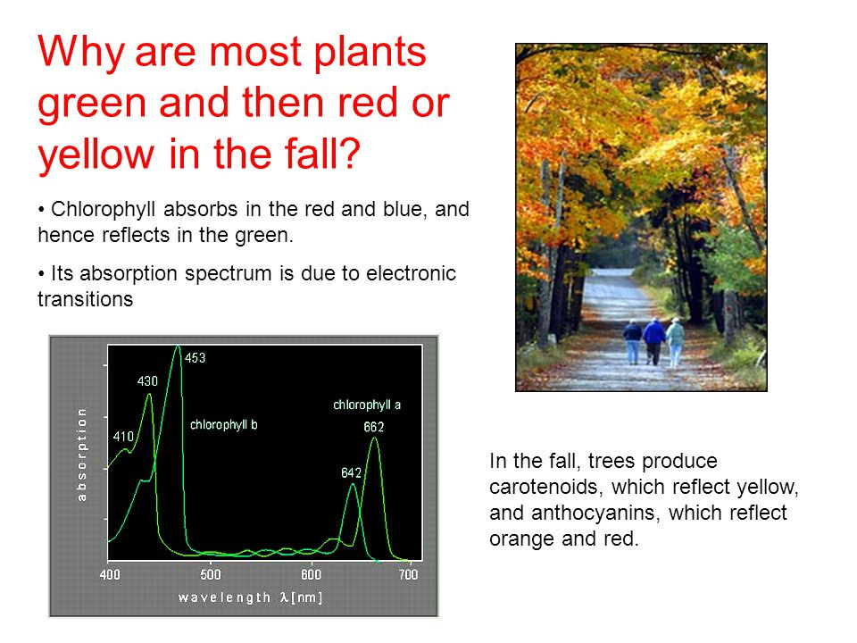 Why are most plants green and then red or yellow in the fall