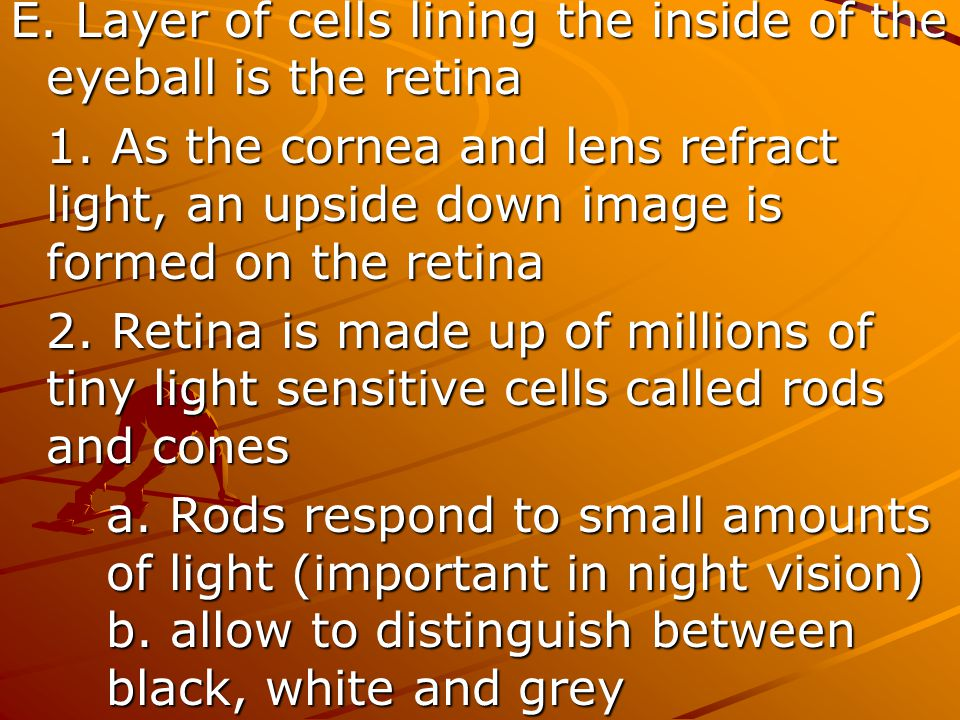 E. Layer of cells lining the inside of the eyeball is the retina
