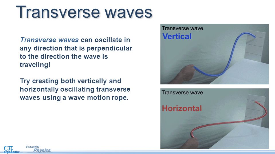 Transverse waves Transverse waves can oscillate in any direction that is perpendicular to the direction the wave is traveling!