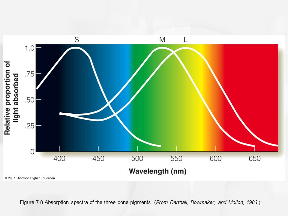 Figure 7. 8 Absorption spectra of the three cone pigments