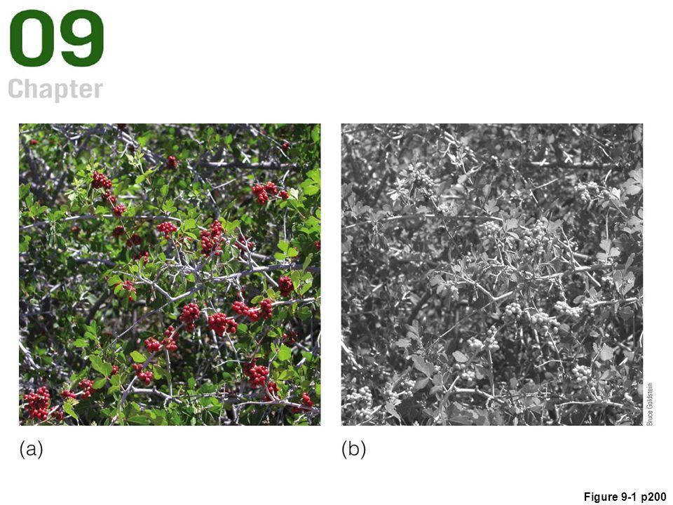 Figure 9. 1 (a) Red berries in green foliage