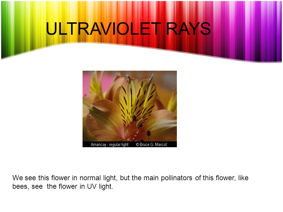ULTRAVIOLET RAYS We see this flower in normal light, but the main pollinators of this flower, like bees, see the flower in UV light.