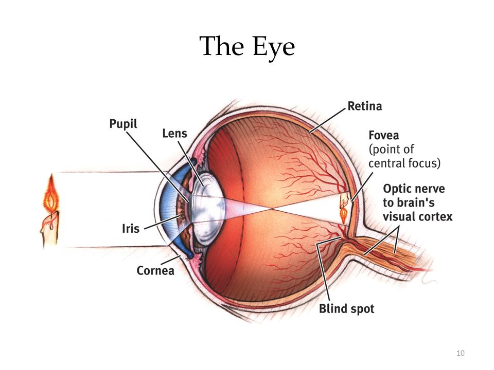 The Eye OBJECTIVE 5  Describe the major structure of the eye, and explain how they guide the incoming ray of light toward the eye's receptor cells.