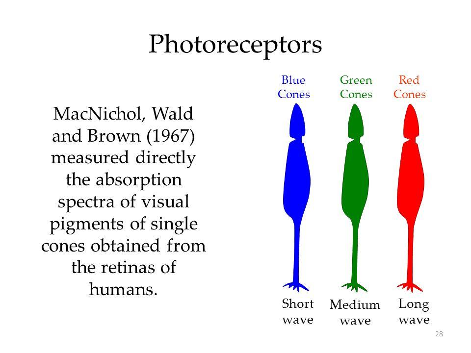 Photoreceptors Blue. Cones. Green. Cones. Red. Cones.
