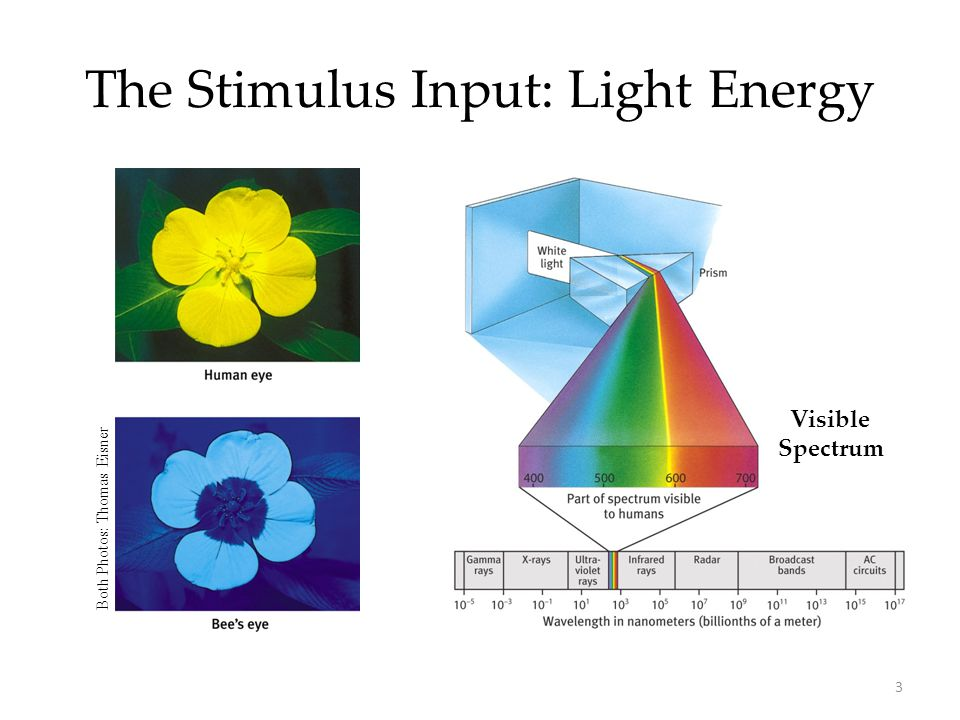 The Stimulus Input: Light Energy