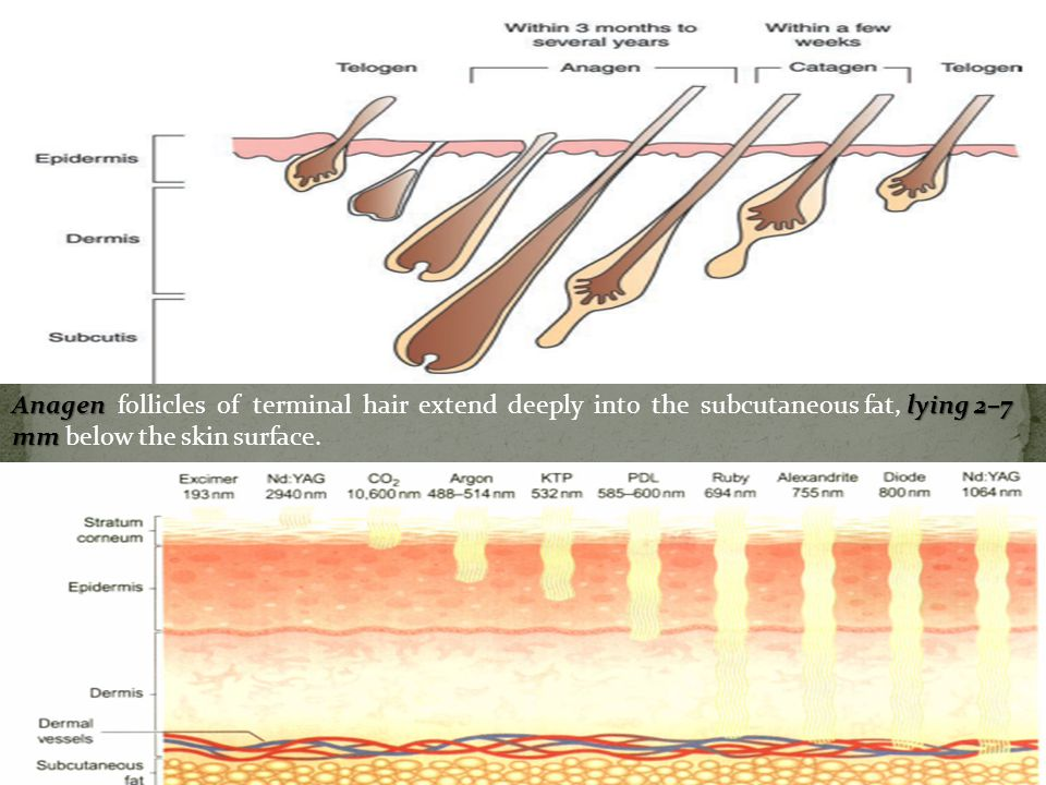 Anagen follicles of terminal hair extend deeply into the subcutaneous fat, lying 2–7 mm below the skin surface.