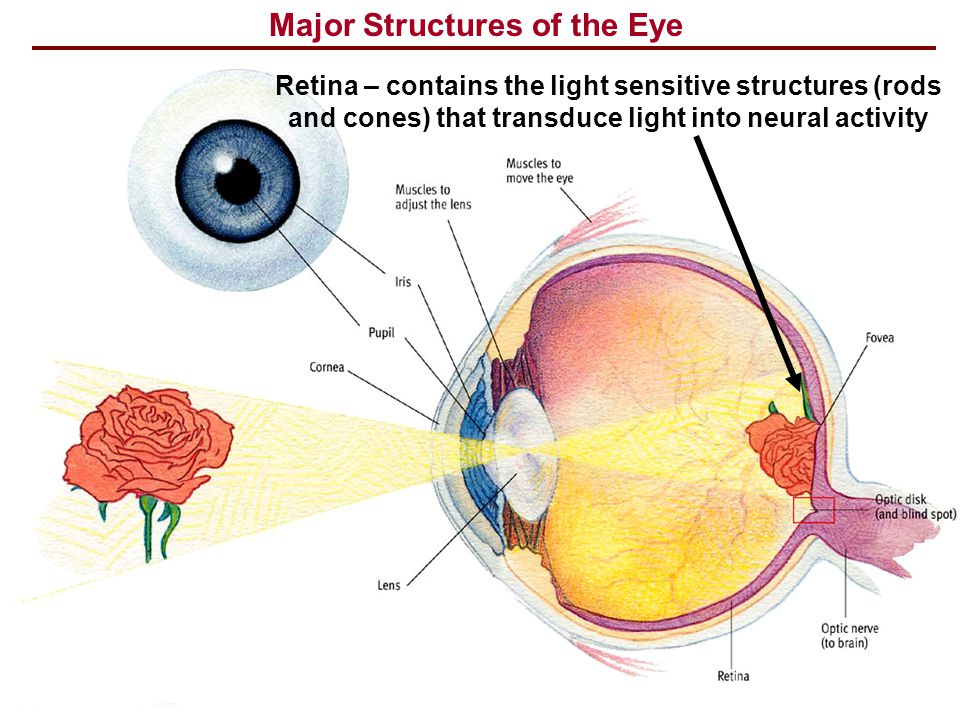 Major Structures of the Eye