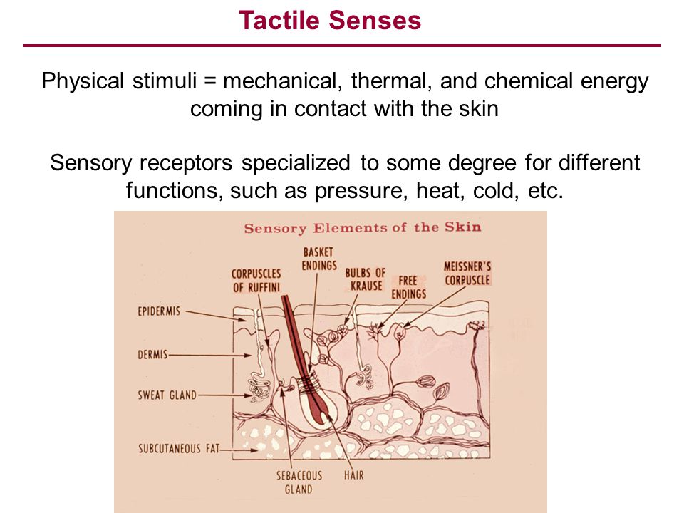 Tactile Senses Physical stimuli = mechanical, thermal, and chemical energy coming in contact with the skin.