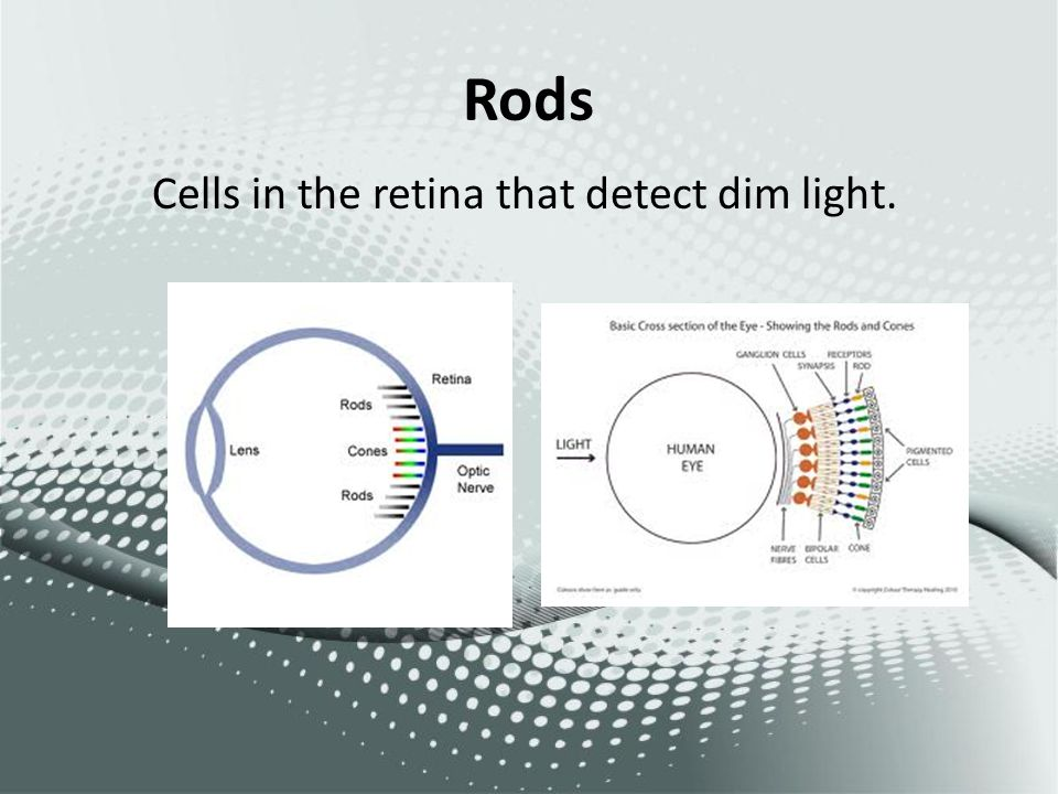 Rods Cells in the retina that detect dim light.