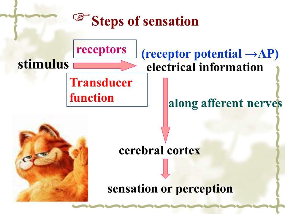 Steps of sensation stimulus receptors (receptor potential →AP)