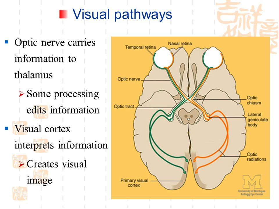 Visual pathways Optic nerve carries information to thalamus