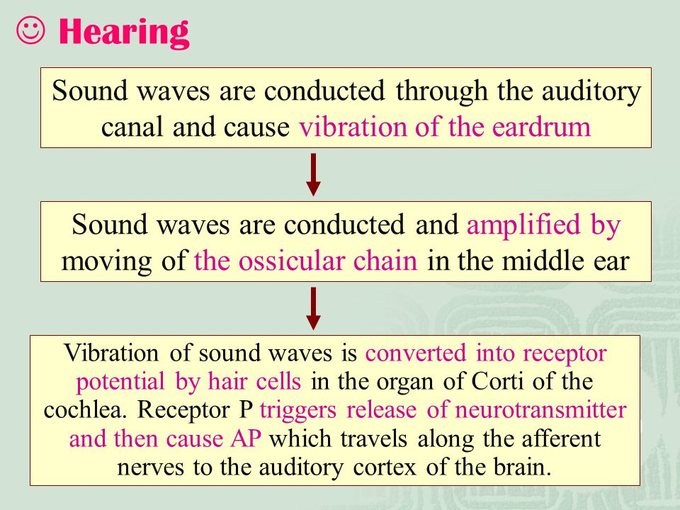 Hearing Sound waves are conducted through the auditory canal and cause vibration of the eardrum.
